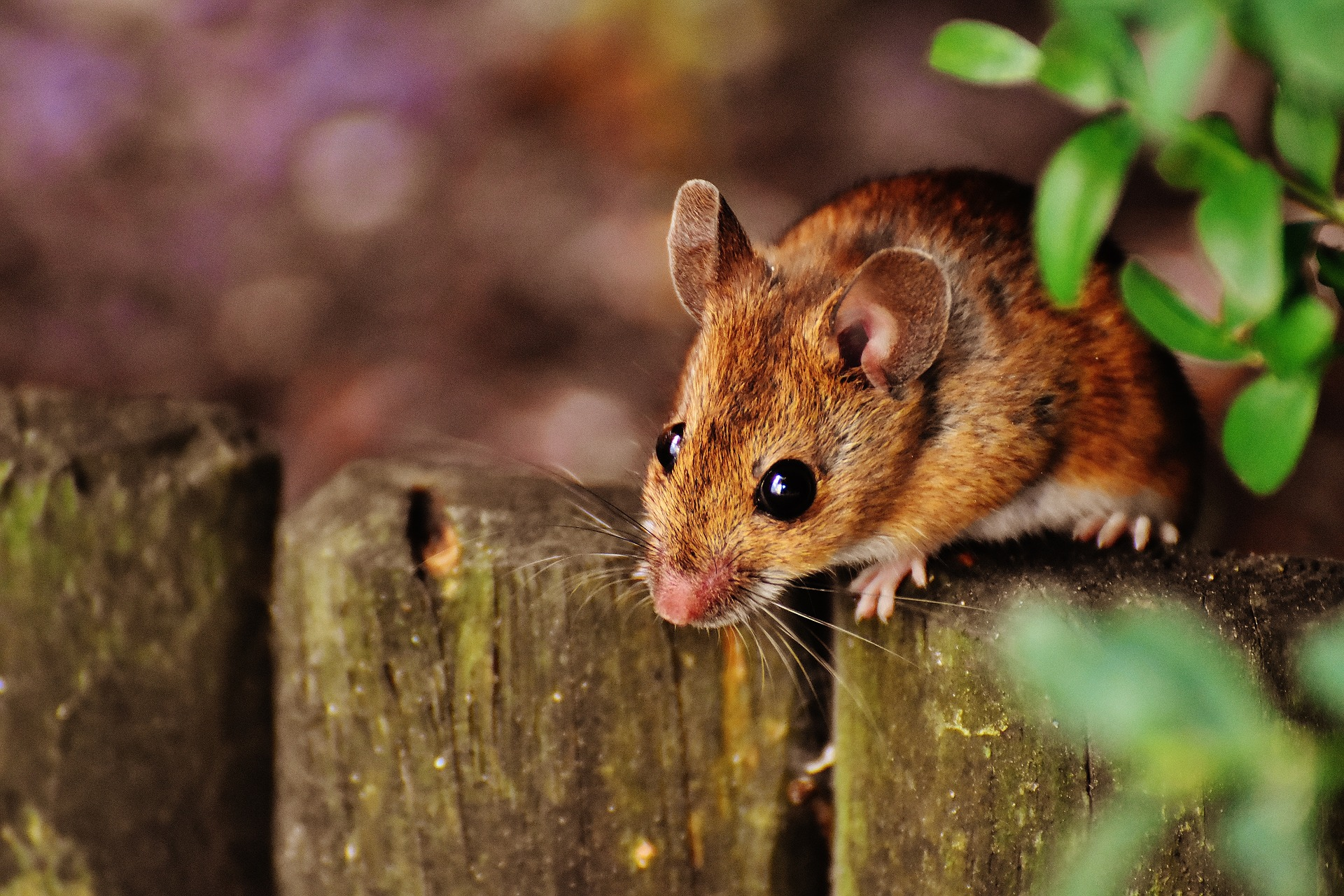 Mouse in an outside natural environment